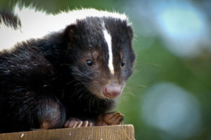 Animal removal needed for skunk on a wooden board