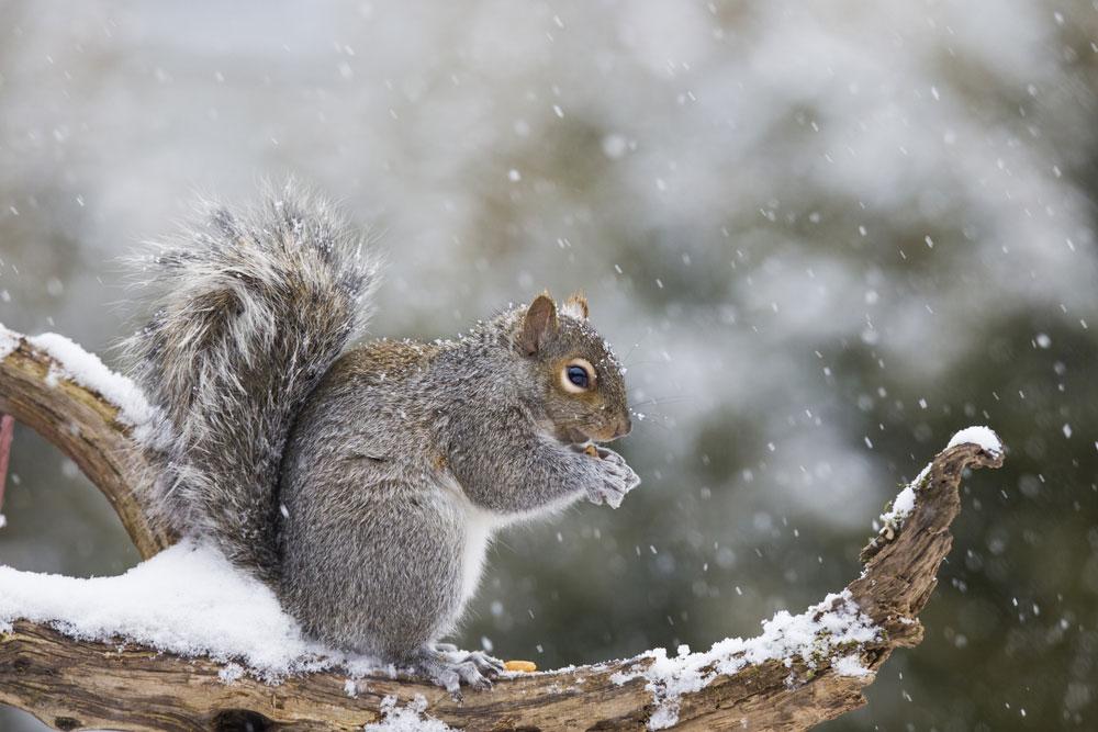 Squirrel removal squirrel preparing for winter