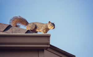 Squirrel removal needed for squirrel on roof