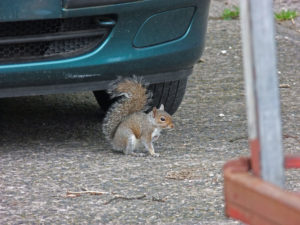 Squirrel Removal for vehicles