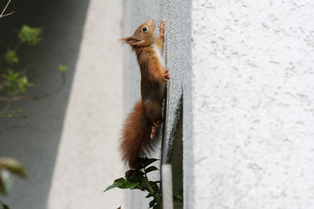 How to Know if You Have Squirrels in the Attic