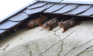 Three squirrels in the attic peeking out from the siding of a house