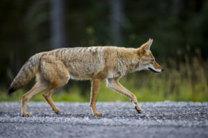 Animal Remover Needed for Coyote in Neighborhood