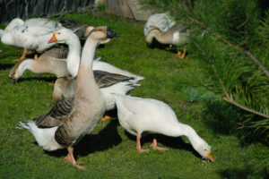 Goose management for flock of geese
