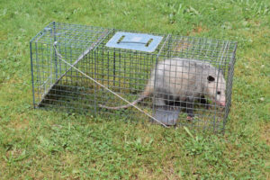 Opossum box trap for animal removal