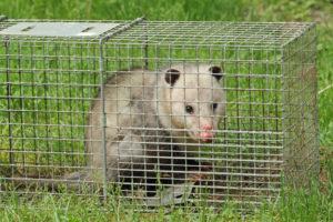 Wildlife control animal trap with opossum