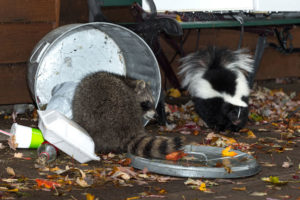 Animal remover needed for skunk and raccoon in metal trash can