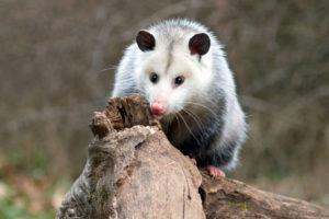 Opossum standing on a log