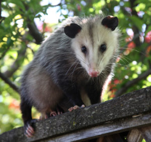 An Opossum stands on a fence.