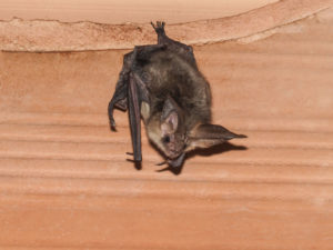 Brown bat in attic