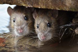 Rats inside