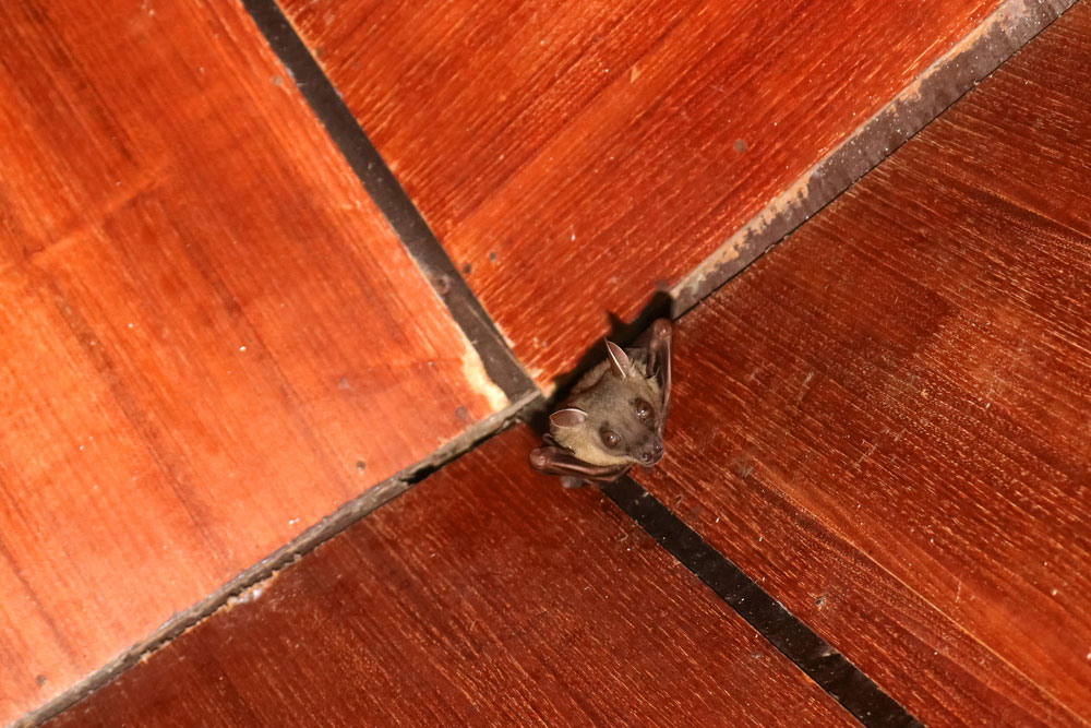 Bat Removal Where Do Bats Like To Hide Animal Remover