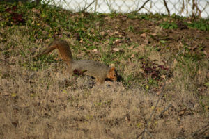 Squirrel in back yard