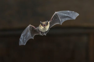 Bat Removal: Bat in Flight