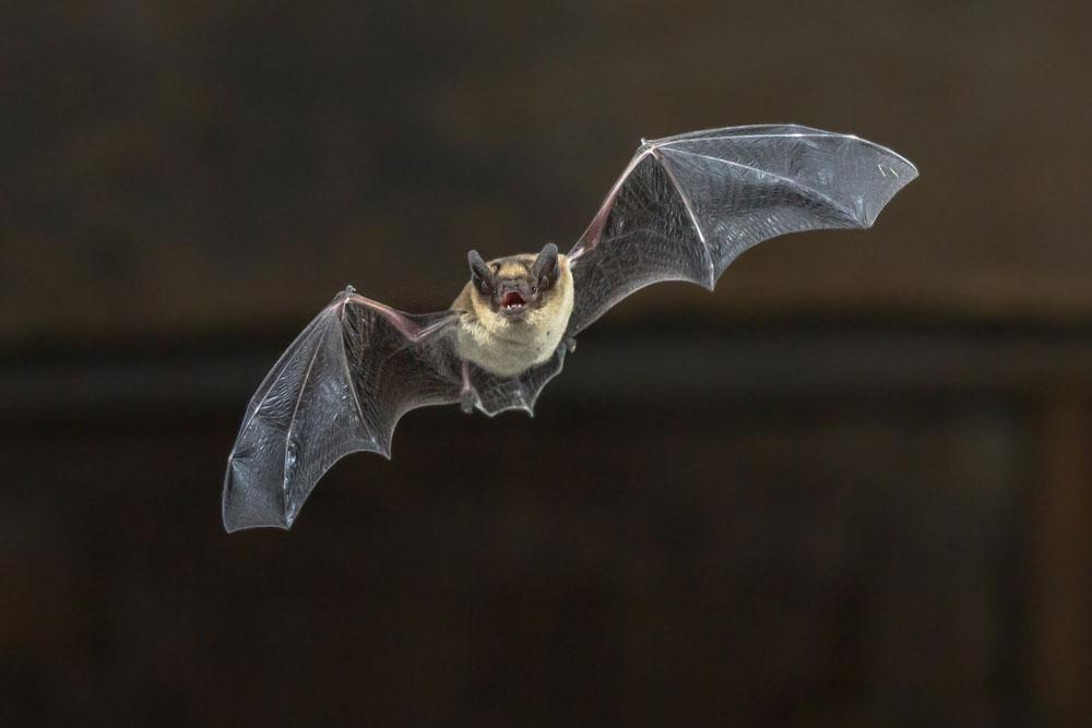 Bat Removal: Bat in Flight