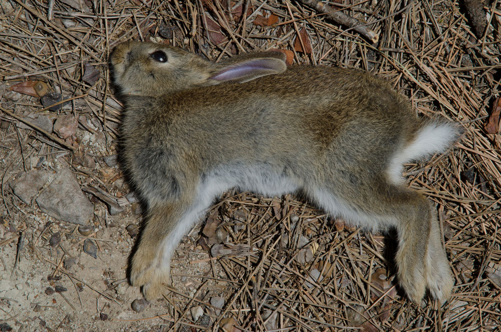 Dead Animal Removal Rabbit