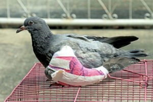 Injured Wildlife Pigeon