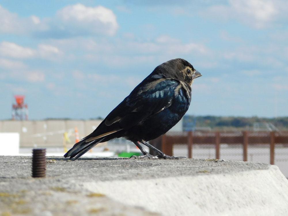 Bird Removal: Bird at Airport