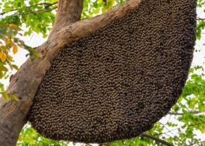 Honey Bee Removal: Swarm