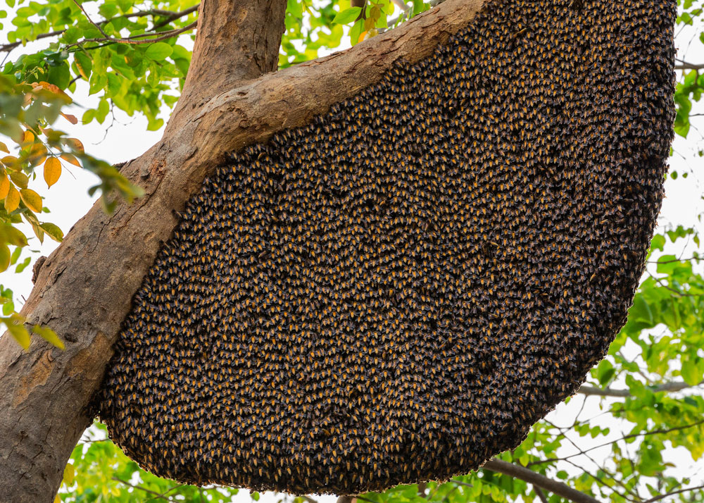 Honey Bee Removal: Swarm