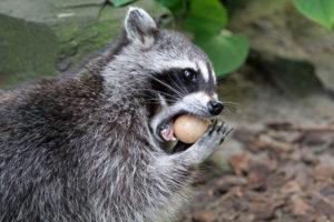 Raccoon Removal Eating an Egg