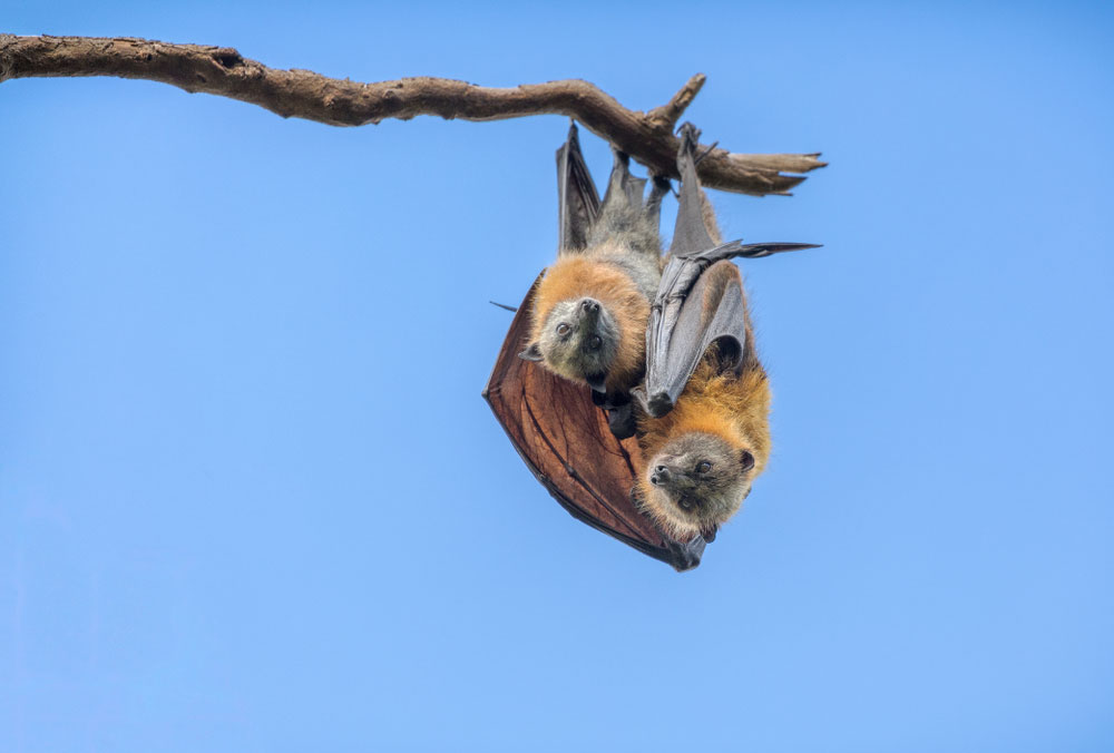 Bat Removal For Bats And Their Young Animal Remover