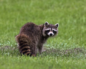 Wild Raccoon Animal Remover