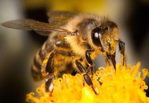 Honey Bee Removal Honey Bee on Flower