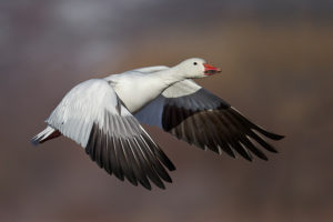 Geese Removal Snow Goose Flying