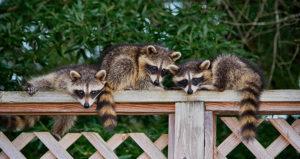 Raccoon Removal Baby Raccoons