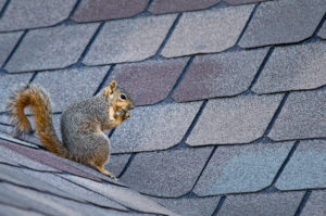 Animal Removal Squirrel on the Roof