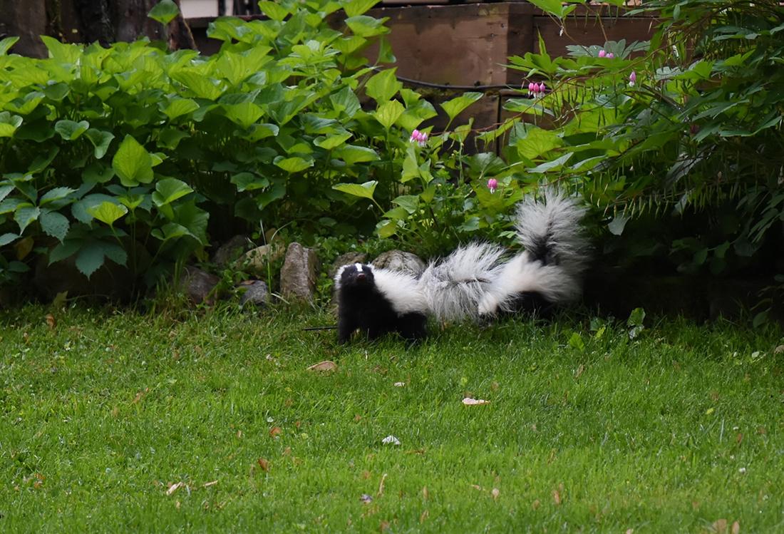 Skunk Removal Skunks in Yard