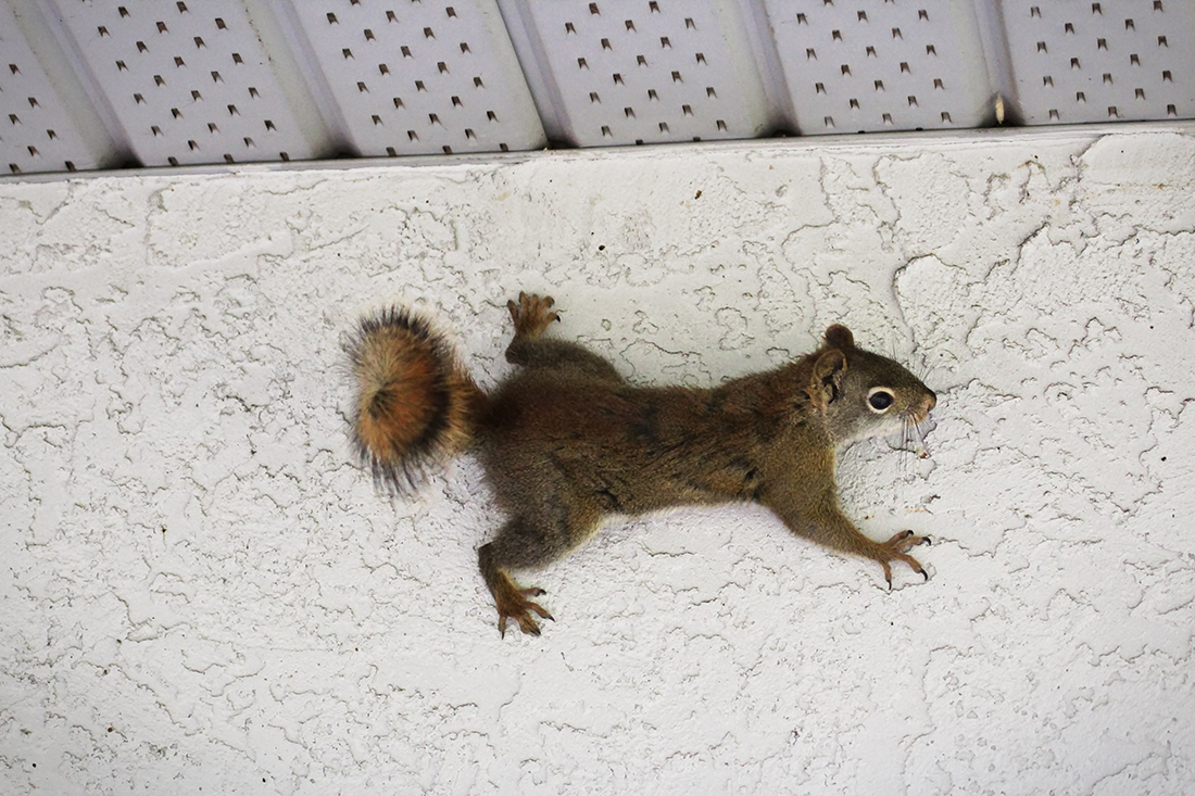Squirrel Removal Squirrel on Wall