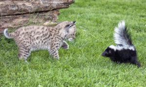 Animal Remover Why Do Skunks Spray Skunk Removal