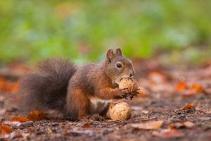 Squirrel eating a nut in the woods