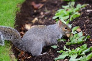 Gray squirrel burying a nut in a flower garden