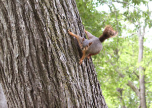 Aggressive squirrel on a tree trunk looking towards camera