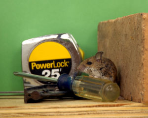 Mouse in garage workshop by hand tools