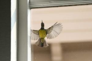Bird flying outside of a window