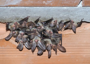 Colony of small bats on a ceiling of a home