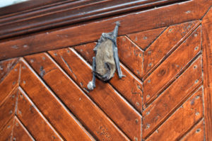 Brown bat on a door