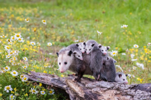 Baby opossums on mother's back