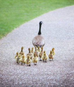 Canada Goose Mother With babies following