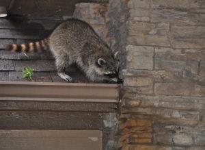 Raccoon in guttering