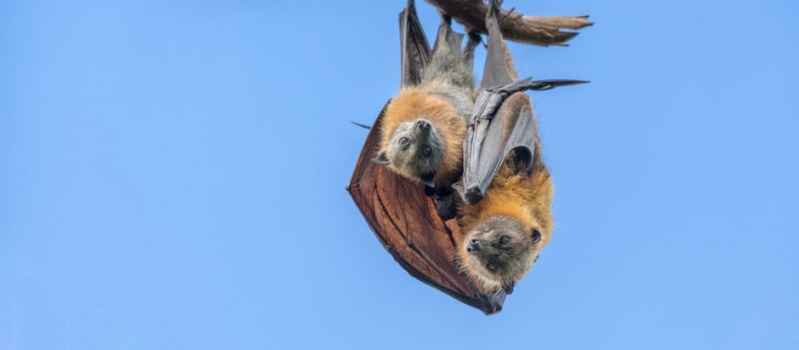 Bat Removal: Bat with Baby