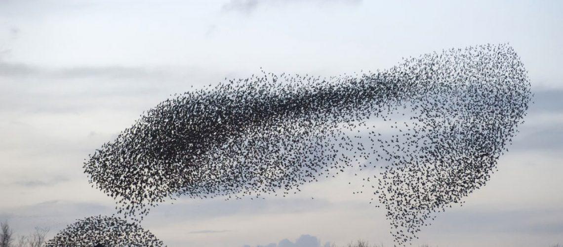 Bird Removal: Murmuration of Starlings