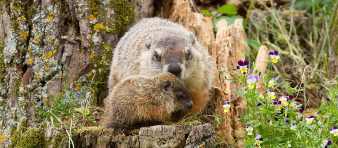 Mother groundhog and her baby on tree stump