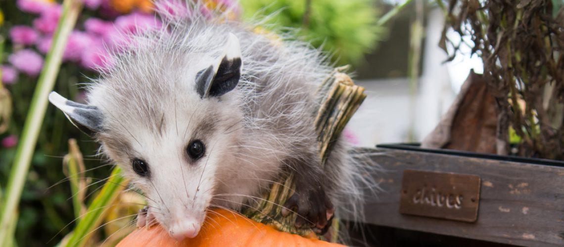 Opossum in a yard chewing on a pumpkin
