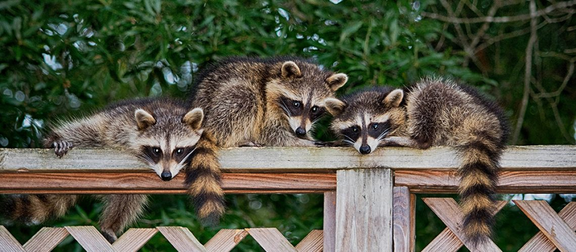 Raccoon Removal Baby Raccoons