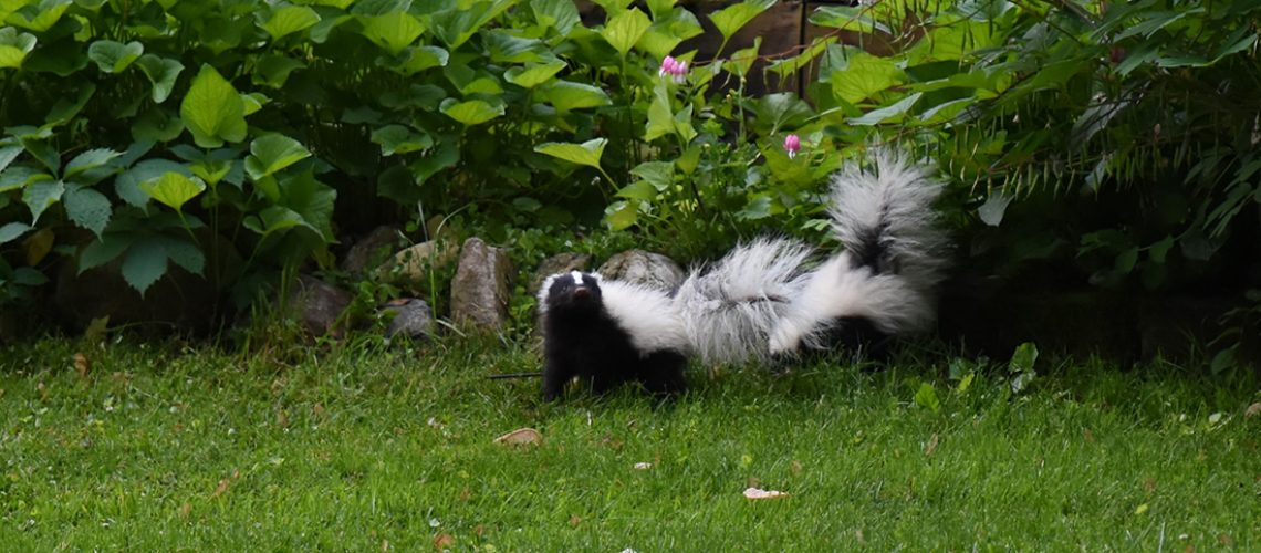 Skunk Removal Skunks in Yard